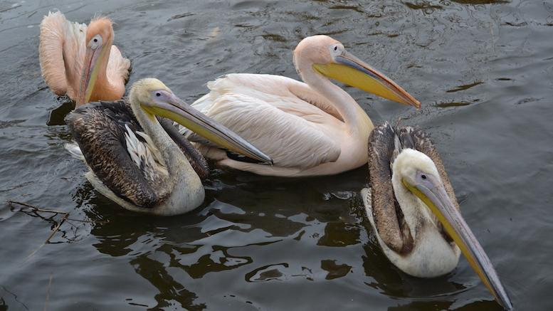 Pelicanii de la Micro-delta Constanța. FOTO Adrian Boioglu