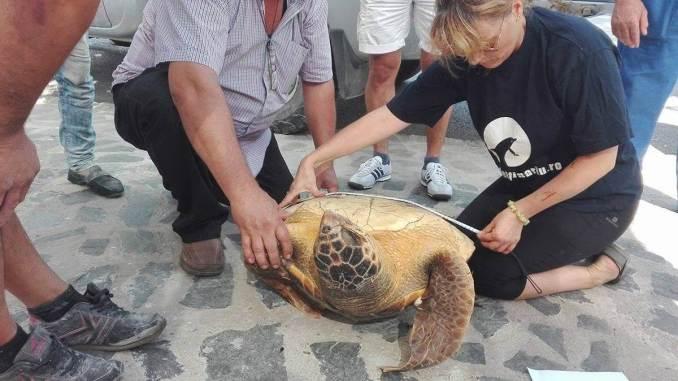 Broasca țestoasă a fost măsurată de angajații CMSN