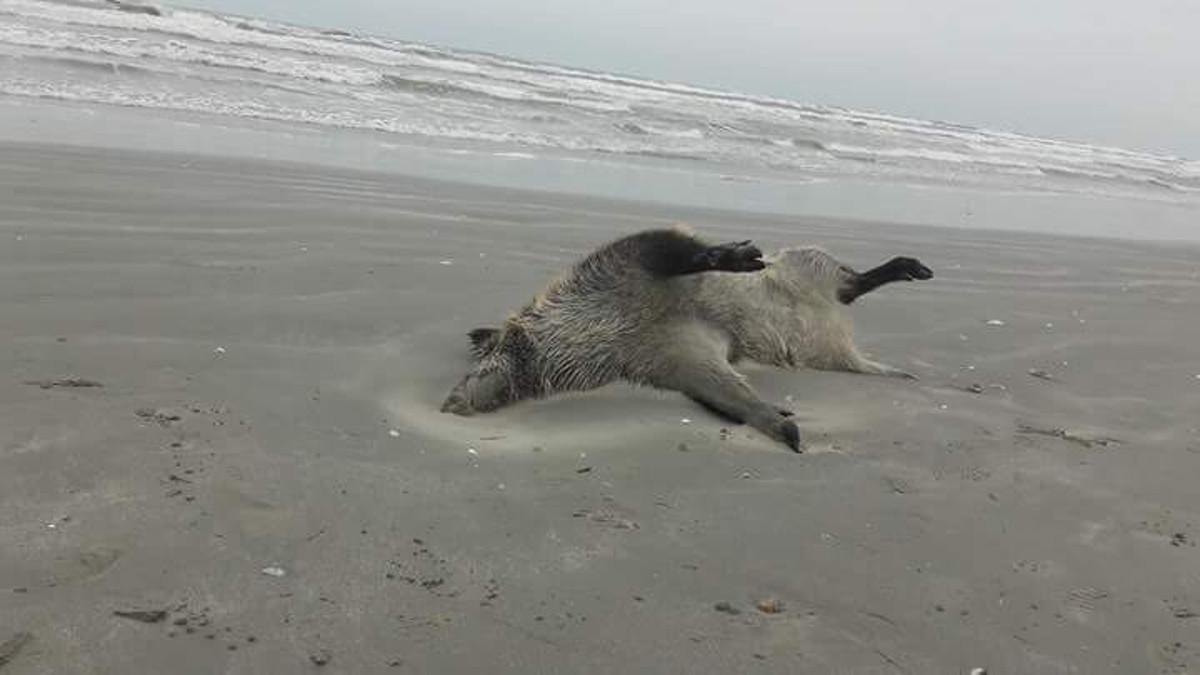 Porci mistreti pe plaja in Mamaia (5)