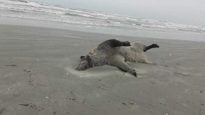 Doi porci mistreți au fost găsiți morți și sfâșiați pe plaja din stațiunea Mamaia