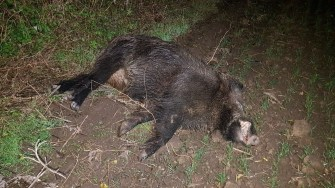 În urma impactului, porcul mistreț a decedat FOTO CTnews.ro