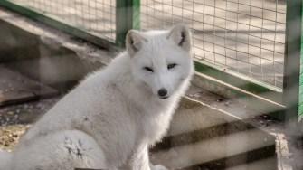 Vulpea polară la Microrezervația Constanța. FOTO Cătălin Schipor