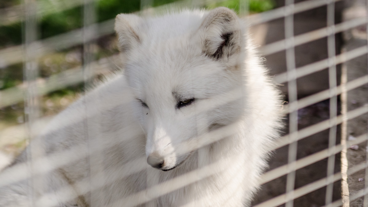 Vulpe alba cmsn microrezervatie (2)