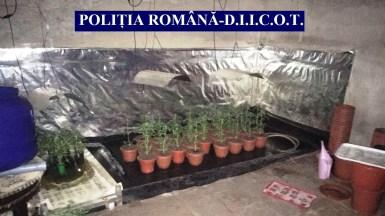 La percheziții au fost găsite mai multe plante de cannabis precum și alte probe. FOTO IPJ Constanța
