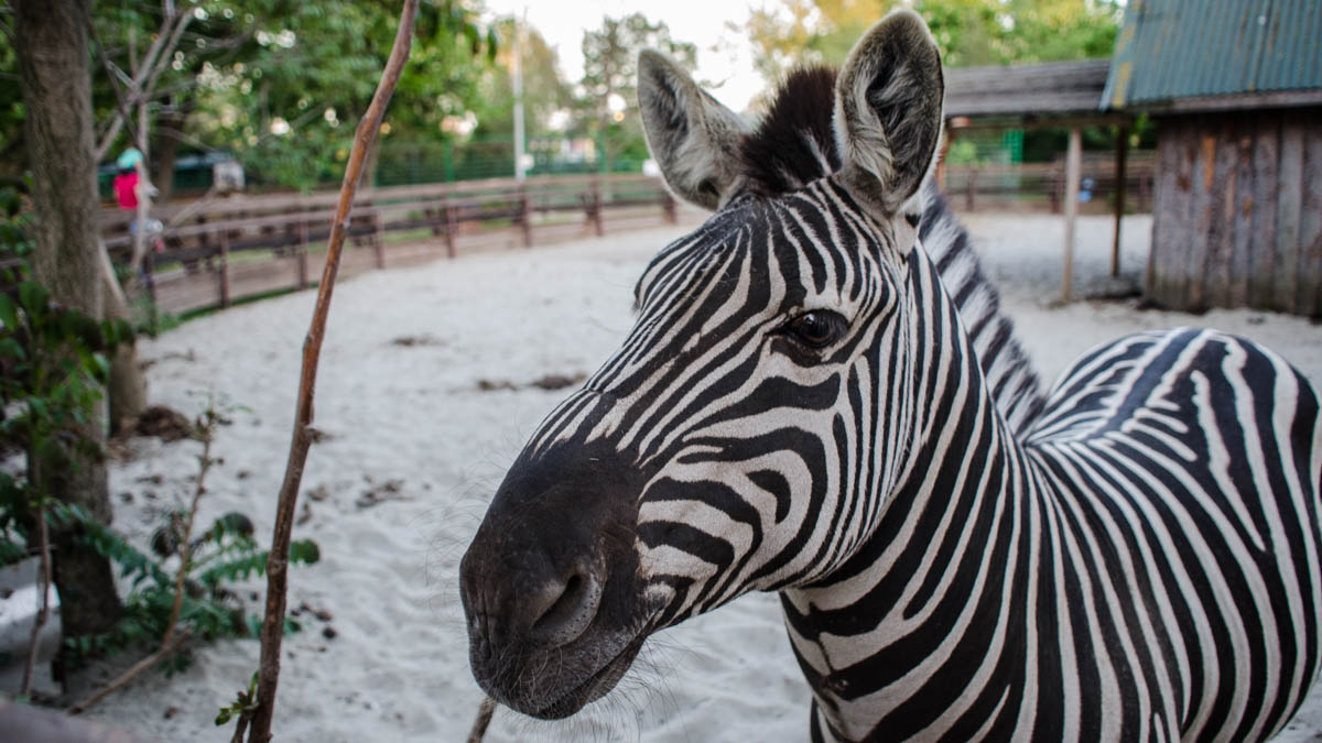 Zebră la Microrezervația Constanța. FOTO Cătălin Schipor