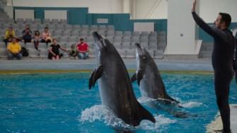 Delfinii de la Constanța se joacă pentru spectatori. FOTO Cătălin Schipor