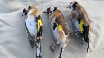 Trei dintre păsările prinse și abandonate de către braconieri. FOTO Dragoș Ștefan Mantoiu