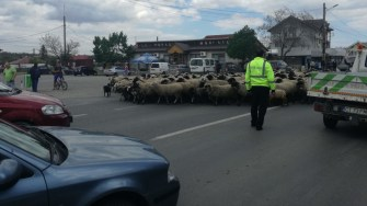 Poliția Locală Murfatlar a blocat un Drum Național pentru a ajuta un cetățean să își mute oile. FOTO CTnews.ro