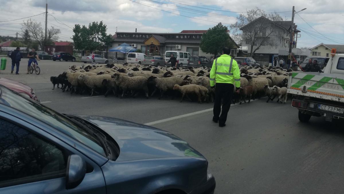 drum blocat politia locala oi murfatlar (1)