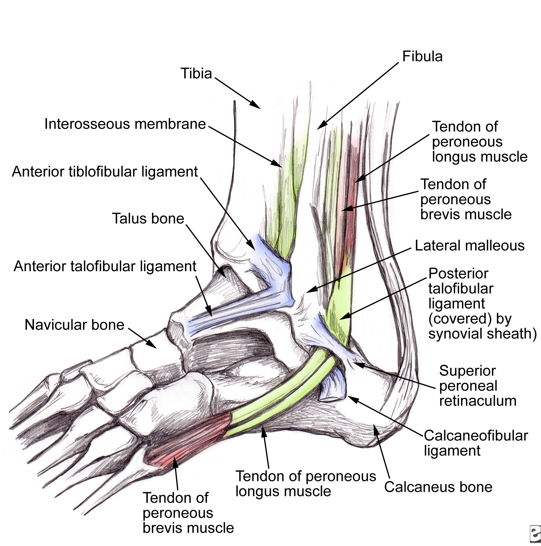 outside tendon hand diagram mobile home wiring tendinitis peroneos