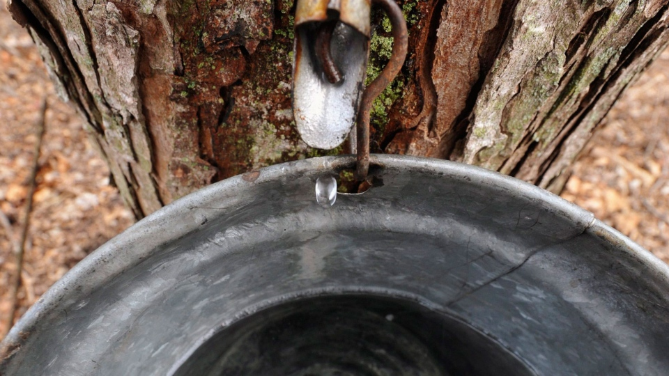 Cold spring creates sweet conditions for Canadas maple