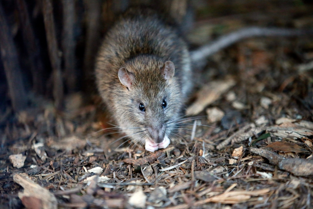 3 people in Ontario contract virus linked to exposure to rats ...
