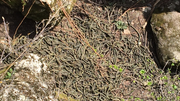 In Pictures Narcisse snake pits  CTV News Winnipeg