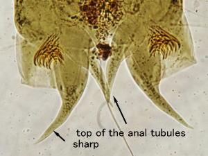 Eukiefferiella