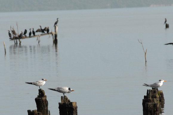 En primer plano, con colores blancos, Gaviotas, en segundo plano, de negro, Corúas de mar