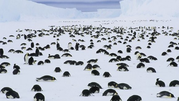 Pingüino Emperador adultos de luto por la muerte de sus crías en la Antártida. Foto: Daniel J. Cox, el Pacífico Barcroft, www.barcroftpacific.comPhotograph © Barcroft PacificAustralasian y la Cuenca del Pacífico de origen de Office: Suministrada