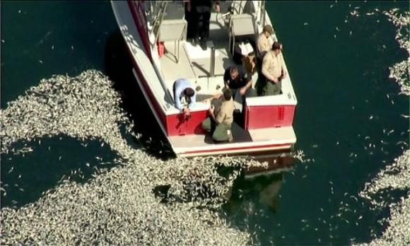 Millones de peces muertos en el embarcadero de Kirg Harbor, Redondo Beach (California) Foto: Los Angeles Times