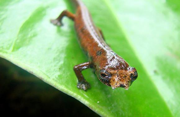 Salamandra extraterrestre