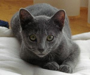 gato-azul-cubano