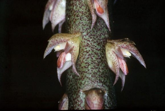 bulbophyllum-pachyrachis