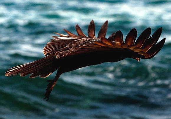 Tiñosa marina. Foto: Ismael Francisco
