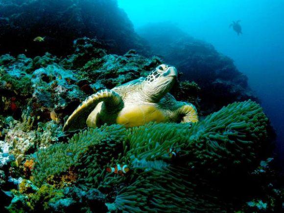Tortuga verde. Foto: Tim Laman