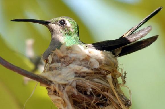 El Zunzún, también conocido como picaflor o colibrí, es muy común en toda Cuba, lo mismo se le encuentra en bosques alejados que en jardines caseros. La hembra anida sola, sin la participación del macho en lugares poco frecuentados por ellos, los nidos son más habituales en primavera. Santiago de Cuba, 4 de febrero de 2013. AIN FOTO/Miguel Rubiera Justiz