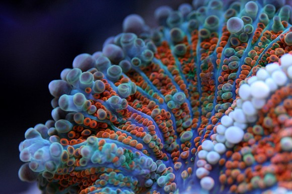 coral macrofotografia