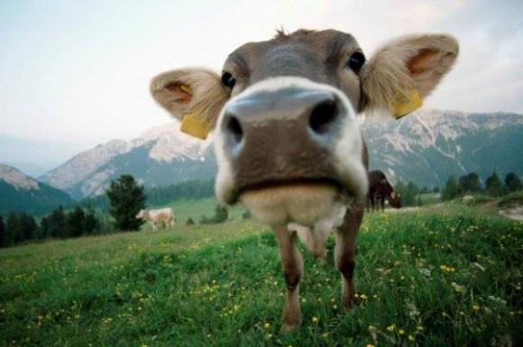 vacas locas