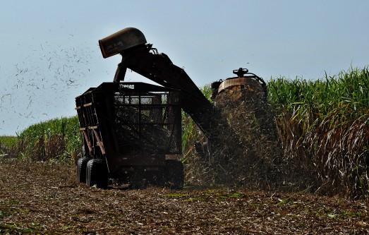 campo de caña de azúcar