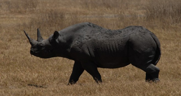 rinoceronte_negro-660x350