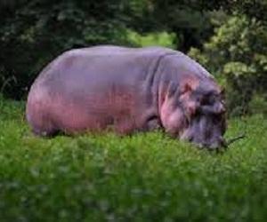 Zoolgico santiaguero sacrifica a hipoptamo por