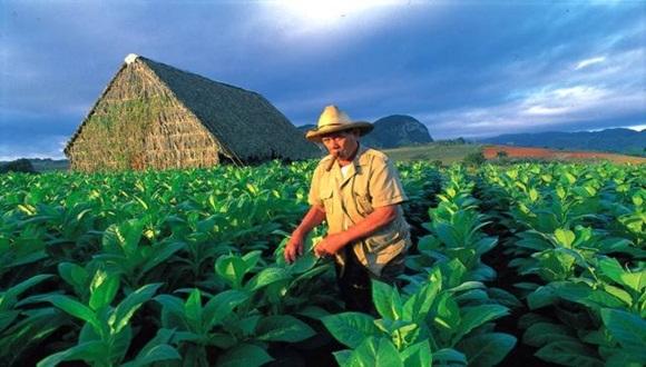 Fomentan produccin de semillas de alta calidad para prxima campaa tabacalera  Cubadebate