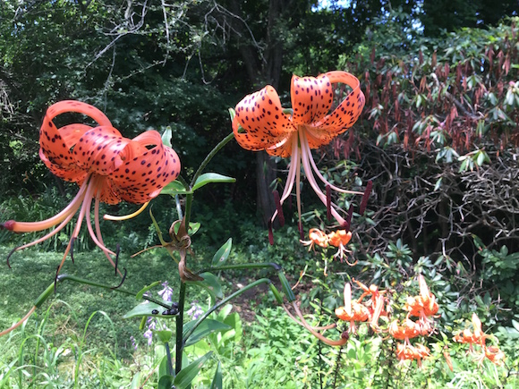 El lirio tigre, de color naranja, la flor preferida de  la poeta estadounidense.