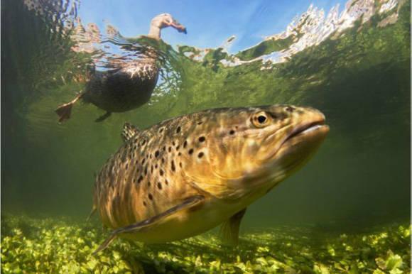 """El jurado afirmó que esta fotografía de Paul Colley en un río de Reino Unido era bastante llamativa porque """"los peces de río son difíciles de fotografiar, así que lograrlo de esta forma vale la pena ser premiado"""". Foto: Paul Colley."""