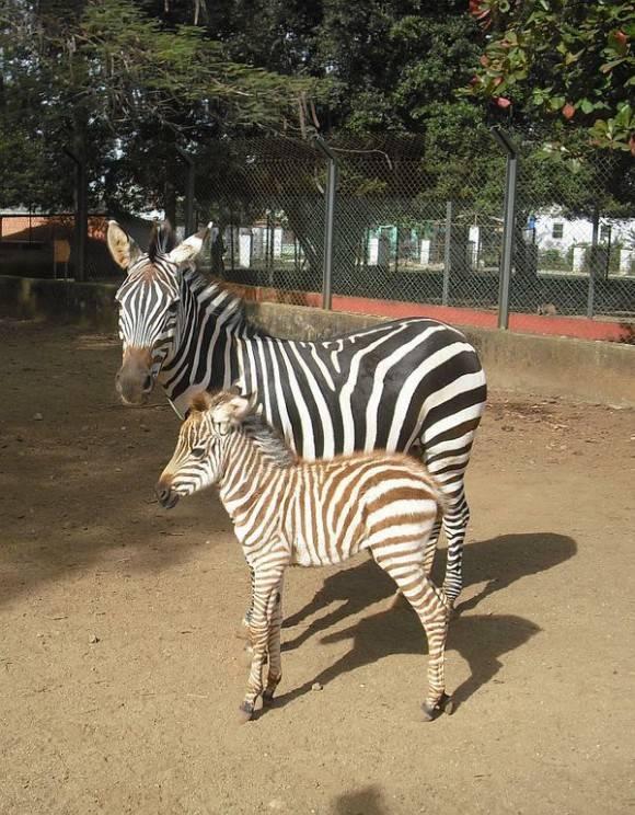 Cebrita Bella, nacida en el zoológico de Santa Clara, Cuba. Foto: Vanguardia