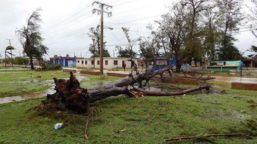 Arbol derribado en Gibara por la fuerza del huracán Irma (Foto: Liudmila)