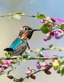 E. Bee Hummingbird