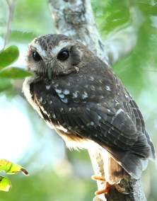 E. Bare-legged Owl