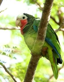RE. Cuban Parrot