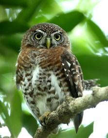 E. Cuban Pygmy Owl