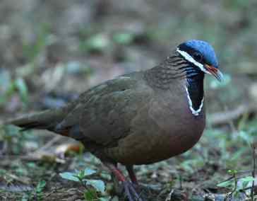 E. Blue-headed Quail-dove