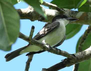 RE. Giant Kingbird