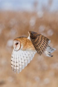 Barn Owl in Utah, January 2013, by miam.