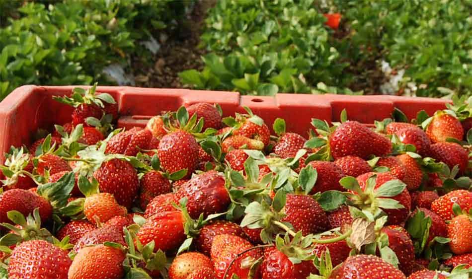 Fresas de Irapuato