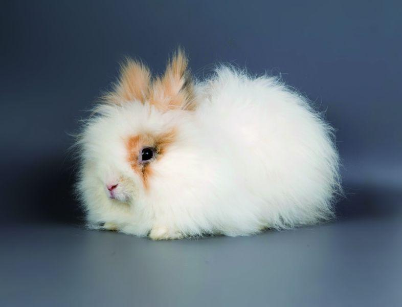 English Angora conejo tipo