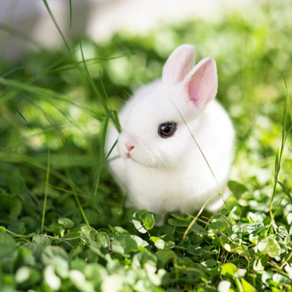 conejo enano o toy