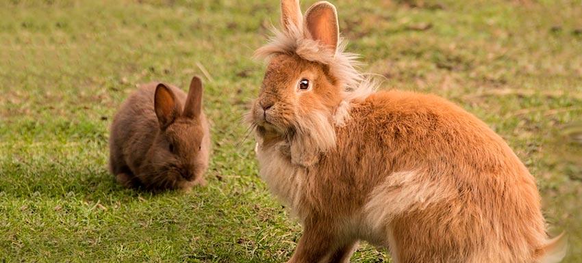 tipos de conejos