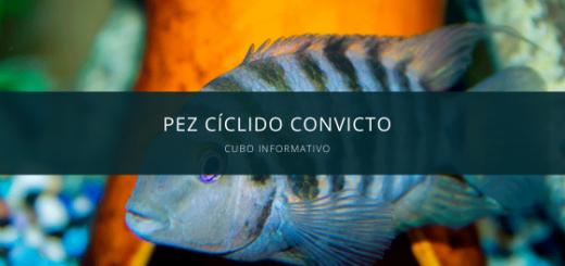 Pez Cíclido Convicto