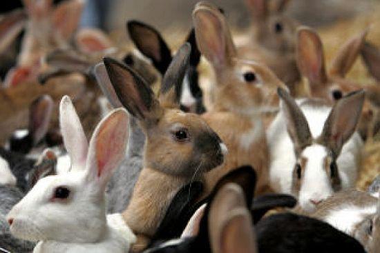 Pecore ortodosse, conigli controcorrente